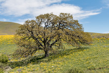 Lone Tree In Wildflower Fields, Dalles Mountain Ranch In Columbia Hills Historical State Park, Washington