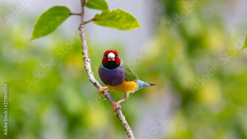 Photographie Gouldian Finch perched on limb