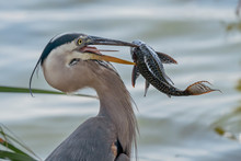 Great Blue Heron Eating An Invasive Species (Plecostomus) In Florida