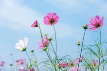 Cosmos Bipinnatus Flowers Blooming In Summer / Galsang Flower