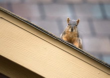 Squirrel Peeking Out From The ...
