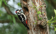 A Stunning Male Great Spotted Woodpecker, Dendrocopos Major, Perching On The Edge Of Its Nesting Hole In A Willow Tree With A Beak Full Of Insects, Which It Is Just About To Feed To Its Babies.