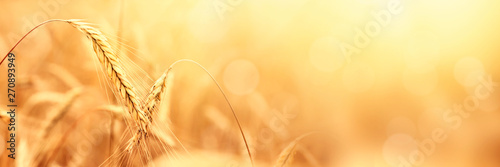 Sunny golden wheat field, ears of wheat close up background Canvas Print