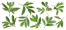 Set Of Fresh Green Peony Leaves On White Background