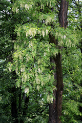 acacia tree with white flowers at spring