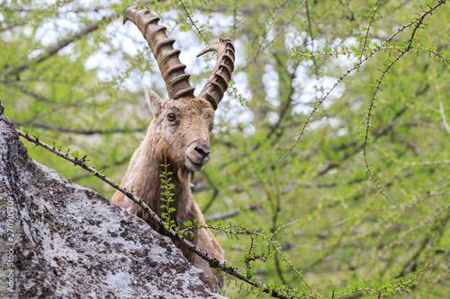 Garden Poster Antelope stambecco nel parco nazionale del Gran Paradiso