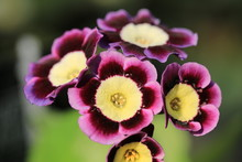 Beautiful Blooming Auricula In...