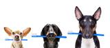 Fototapeta Zwierzęta - dental toothbrush  row of dogs