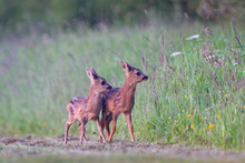 Two Roe Deer Fawns, Twins