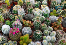 Collection Of Cactus Plants In Pots As A Background.Various Cacti Mix In The Greenhouse.Tropical Succulents For Decor. Selective Focus.