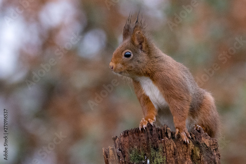 Foto auf Gartenposter Eichhornchen Squirrel on a tree looking around