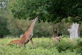 Fototapeta Na ścianę - fallow deer in the forest
