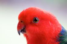 Portrait Of An Australian King Parrot