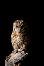 Stunning Portrait Of Tawny Owl Strix Aluco Isolated On Black In Studio Setting With Dramatic Lighting