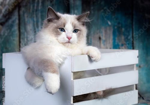 Valokuvatapetti regdoll male catregdoll male cat on blue background.