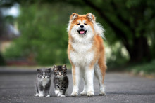 Akita Dog Posing With Two Fluffy Kittens Outdoors