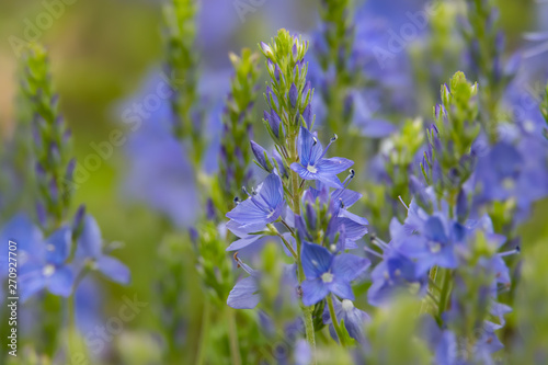 Broadleaf Speedwell Flowers in Bloom in Springtime Slika na platnu
