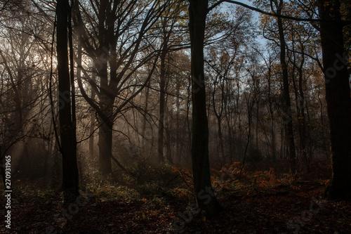 Foto op Plexiglas Cappuccino Morning sunlight in the forest. Foggy. Limburg Netherlands