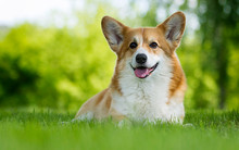 Dog For A Walk, Welsh Corgi Br...
