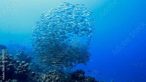 Door stickers Coral reefs Bait ball in coral reef of Caribbean Sea around Curacao at dive site Playa Piskado