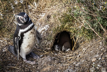 Mom Penguin With Her Chicks, U...