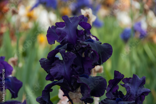 Closeup Of A Beautiful Blooming Dark Purple And White Iris