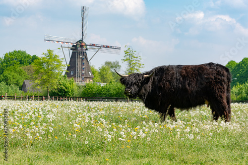 Recess Fitting Grocery Countryside landscape with black scottish cow, pasture with wild flowers and traditional Dutch wind mill