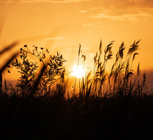 Grass Silhouettes At Sunset