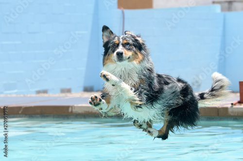 Merle Aussie about to land in the pool Canvas Print