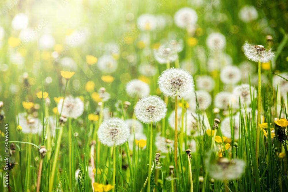 Dandelions on a summer meadow