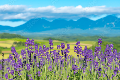 Cadres-photo bureau Lavende close-up violet Lavender flowers field at summer sunny day with soft focus blur natural background. Furano, Hokkaido, Japan