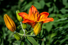 Orange Lily Flower On A Sunny Day Close Up