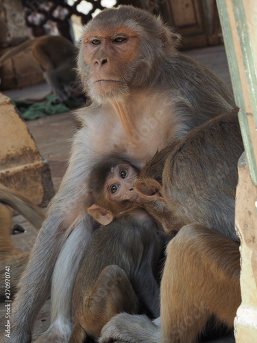 Stickers pour portes Delhi Indian Macaque/Monkey outside in Temple