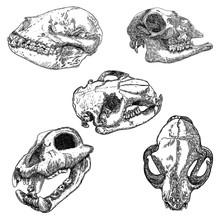 Set Of Animal Skulls, Engravin...