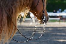 Head Of Chestnut Quarter Horse...