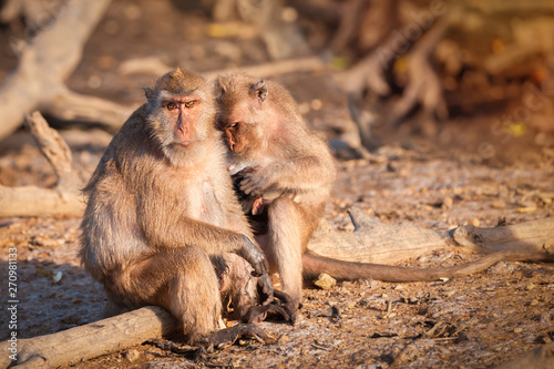 Fotografie, Obraz  Crab eating macaque family