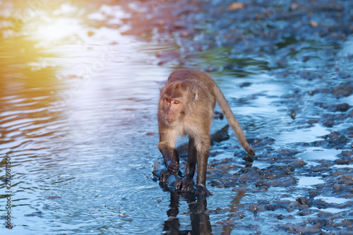 Fényképezés Crab eating macaque habitat in phuket ,Thailand