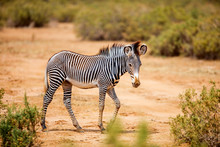 Grevys Zebra In Samburu Kenya