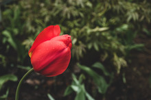 Red Tulip Flower With Dew Drops Surrounded By Greenery In Vintage Matte Style Of Old Photos