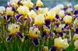 Gelb-lila Iris-Blüten