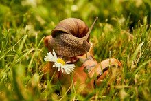 """A Series Of Photos """"One Day In The Life Of Snails"""", Grape Snail Climbs Out Of A Ceramic Shoe Standing In The Grass."""