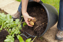 Harvesting Potatoes That Have ...