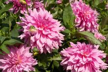 Pink Dahlia - Variety Is Hamari Girl