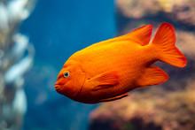 Garibaldi Fish (Hypsypops Rubi...
