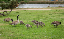 Geese And Goslings Forage For ...