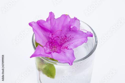 Garden Poster Royal azalea flower in glass of ice water on white background