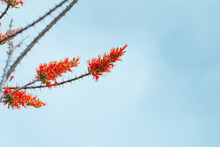 Ocotillo In Bloom With Orange ...