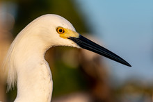 Profile Of A Snowy Egret In Florida