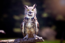 A Great Horned Owl Sitting On ...