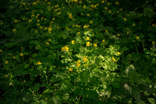 General View Of The Plant Chelidonium Majus (commonly Known As Greater Celandine, Nipplewort, Swallowwort, Tetterwort)